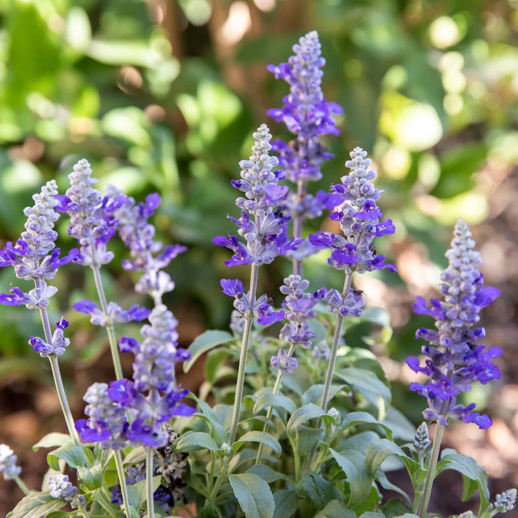 common types of salvia flowers annual and perennial 4767399 1 4ec1b72904974072ae440be72439ba12